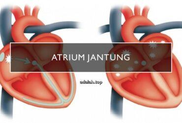 Atrium (jantung) adalah -- anatomi, fungsi, gangguan