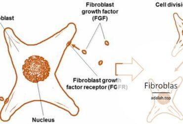Fibroblas adalah -- pengertian dan fungsi