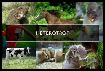 Heterotrof adalah: Pengertian, jenis, contoh