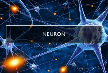 Neuron adalah -- pengertian, bentuk, jenis, ciri, struktur