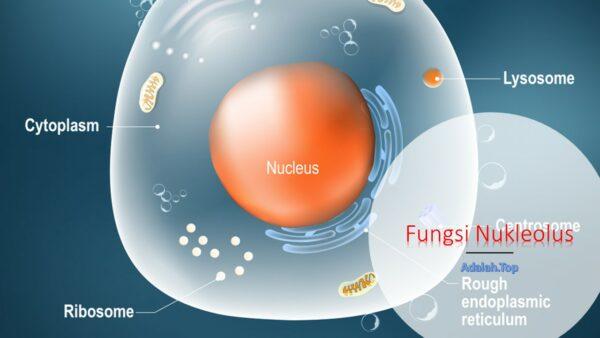 Fungsi Nukleolus