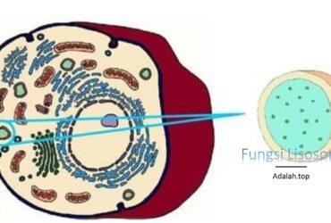 Fungsi Lisosom -- ciri, jenis, pembentukan, gangguan, sejarah