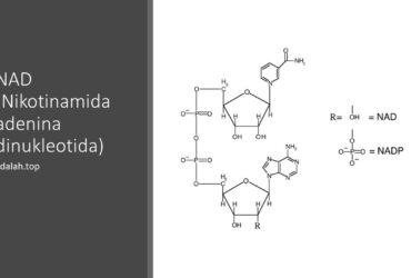 NAD (Nikotinamida adenina dinukleotida): Pengertian, ciri, sintesis