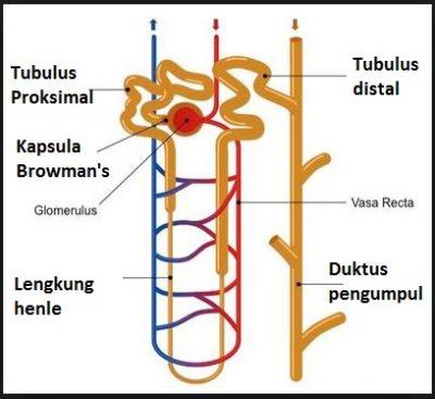 Nefron berfungsi untuk membuang produk limbah, ion liar, dan kelebihan air dari darah. Darah mengalir melalui glomerulus, yang dikelilingi oleh kapsul glomerulus.