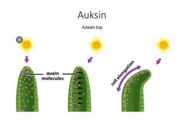 Fungsi Hormon Auksin pada tumbuhan