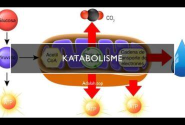 Katabolisme: Pengertian, contoh, fungsi, perbedaan