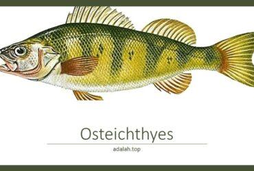 Ciri-ciri Osteichthyes (Ikan bertulang sejati)