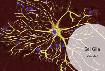 Fungsi sel glia (ciri, jenis, gangguan)