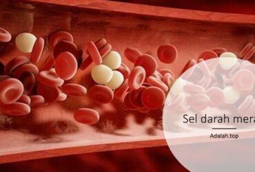 Sel darah merah: Karakteristik, Struktur, pembentukan, fungsi