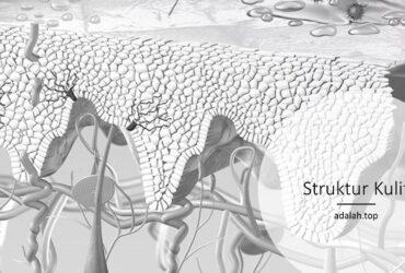 Struktur kulit -- bagian dan fungsi tiap lapisan
