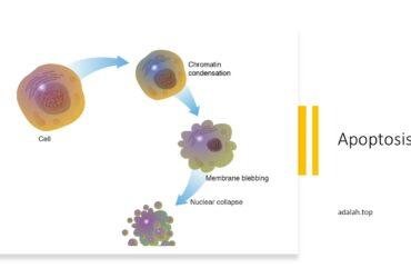 Apoptosis adalah -- pengertian, penyebab, fungsi, mekanisme